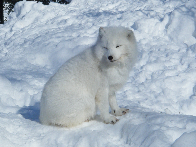 Ou voyager pour voir des renards polaires ?