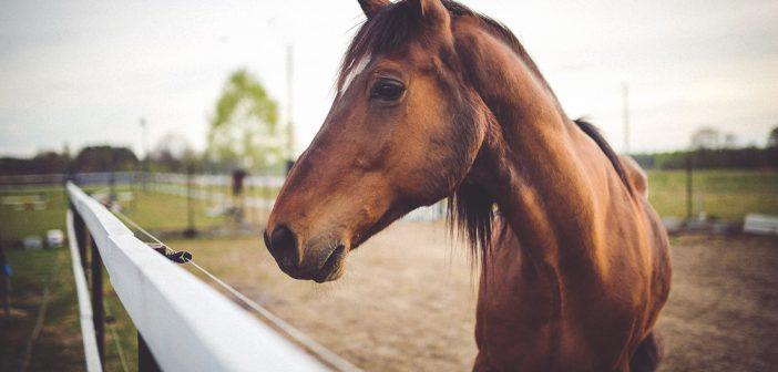 Comment se déroule l'achat de chevaux de sport ?