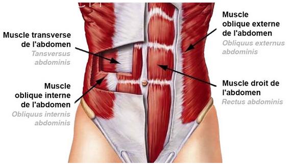 Schéma des différents muscles abdominaux du corps humain